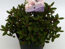 """Dwerg rododendron (Rhododendron """"Ginny Gee"""") heester"""