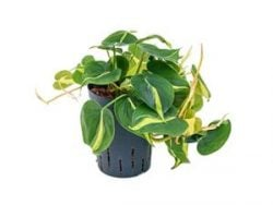 Philodendron grand brasil hydrocultuur hangplant