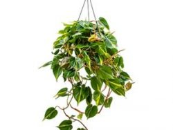 Philodendron grand brasil hangplant