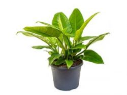 Philodendron imperial green M kamerplant