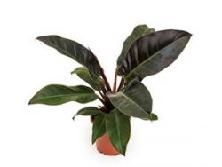 Philodendron imperial red XS kamerplant