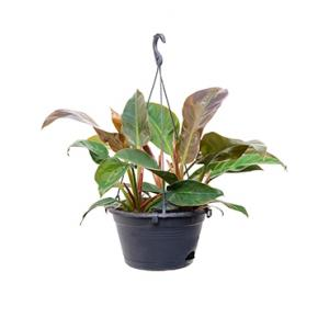 Philodendron imperial red S hangplant