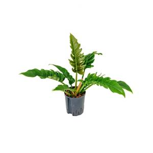 Philodendron narrow hydrocultuur plant