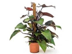 Philodendron royal queen mosstok 80 kamerplant