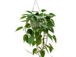 Philodendron scandens S hangplant