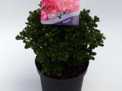 """Rododendron (Rhododendron Japonica """"Anouk"""") heester - 12-20 cm - 8 stuks"""