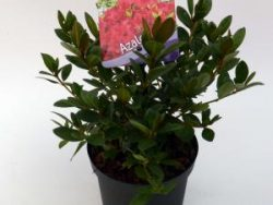 """Rododendron (Rhododendron Japonica """"Arabesk"""") heester - 12-20 cm - 8 stuks"""