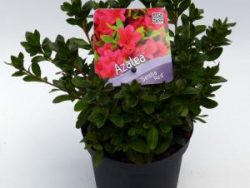 """Rododendron (Rhododendron Japonica """"Geisha Red"""") heester - 15-20 cm - 8 stuks"""