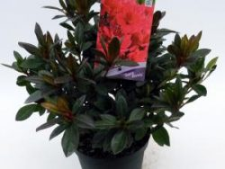 """Rododendron (Rhododendron Japonica """"Georg Arends"""") heester"""
