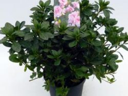 """Rododendron (Rhododendron Japonica """"Nancy of Robin Hill"""") heester"""