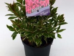 """Rododendron (Rhododendron Japonica """"Silver Sword"""") heester - 15-20 cm - 8 stuks"""