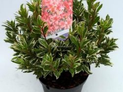 """Rododendron (Rhododendron Japonica """"Silver Sword"""") heester - 30-35 cm - 1 stuks"""