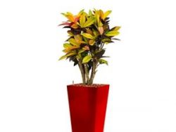 Standard All in 1 Hydrocultuur Croton iceton vierkant rood