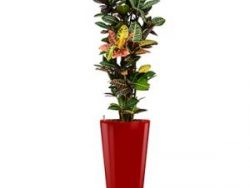 Standard All in 1 Hydrocultuur Croton petra rond rood