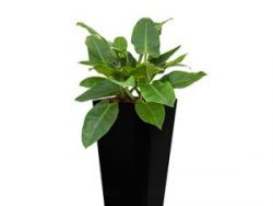 Deluxe All in 1 Hydrocultuur Philodendron imperial green vierkant zwart