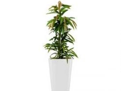 Standard All in 1 Hydrocultuur Ficus amstel rond wit
