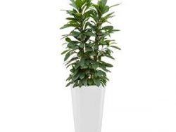 Standard All in 1 Hydrocultuur Ficus cyathistipula rond wit